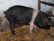 porci-bazna-10-ianuarie-2012-6