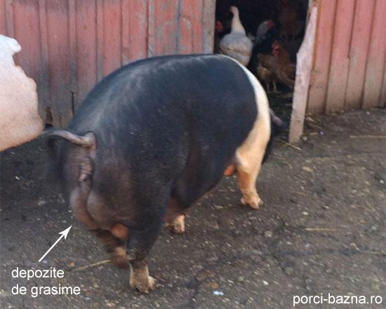 cum poate porcul meu să piardă în greutate cum să pierzi grăsimea între organe