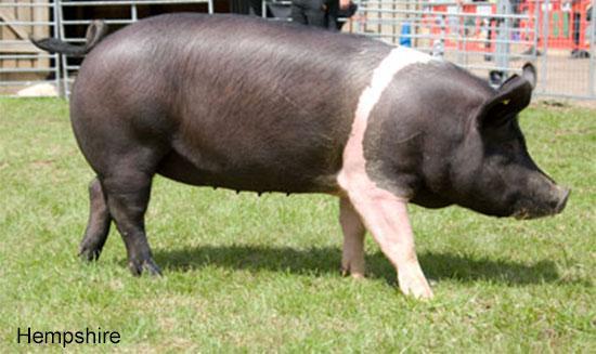 cum poate porcul meu să piardă în greutate